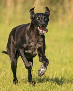 Rennender Hund Canicross